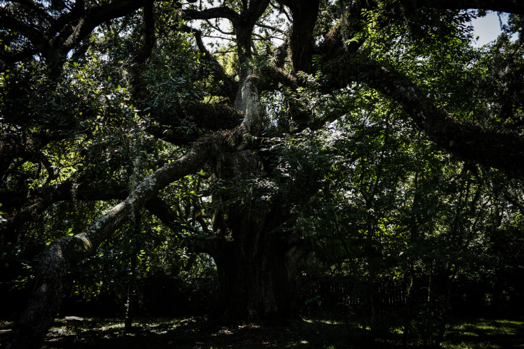 Ruskin Oak. The oldest and largest oak tree in southern Mississippi.
